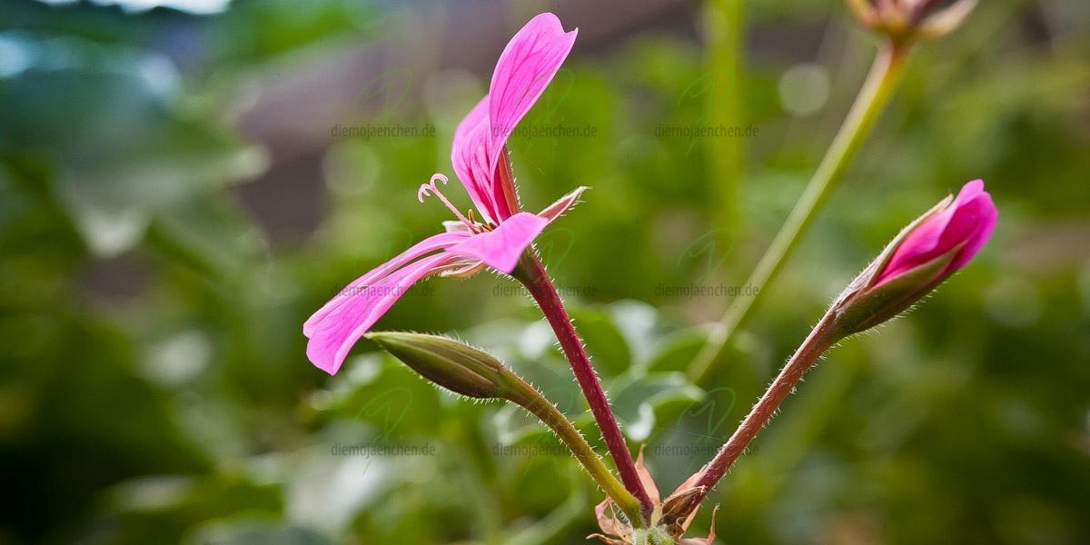 Lila Blume II